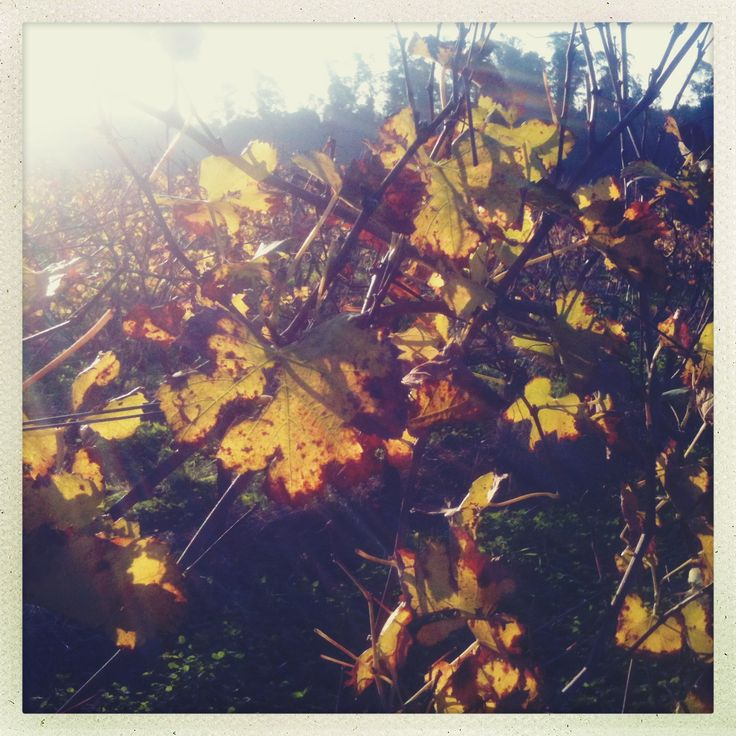 Vineyard near Montevideo, Uruguay