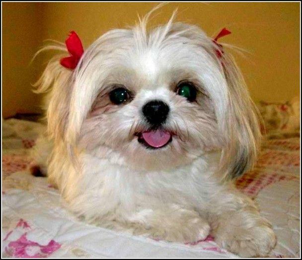 Imágenes De Shih Tzu Puppies For Adoption In Missouri