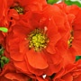 Chaenomeles Double Take™ Orange Storm - Double Flowered Quince