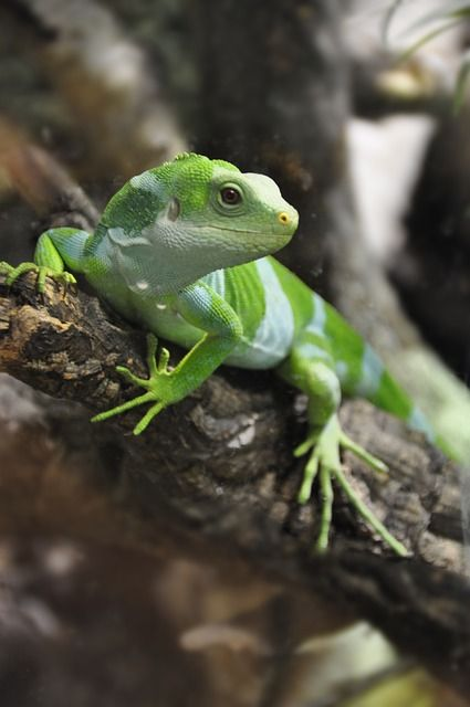 reptiles animal chameleon frog - photo #13