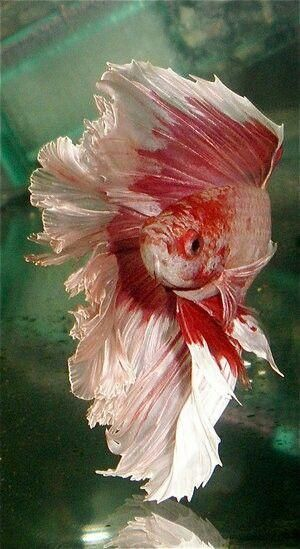 how to put two betta fish together