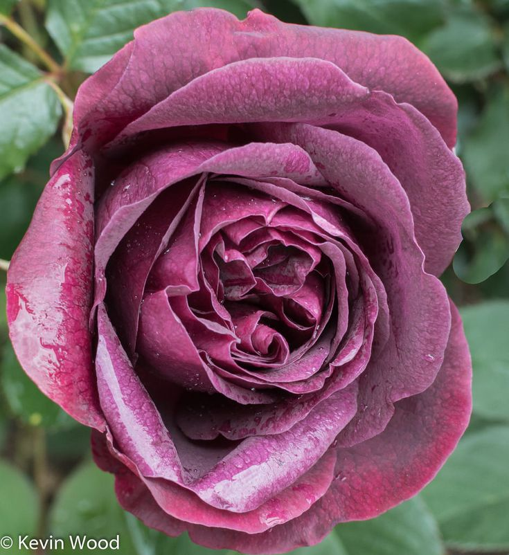 'Munstead Wood' |  Shrub.  English Rose Collection. Bred by David C. H. Austin (United Kingdom, 2007) | Flickr - ©  kevin wood