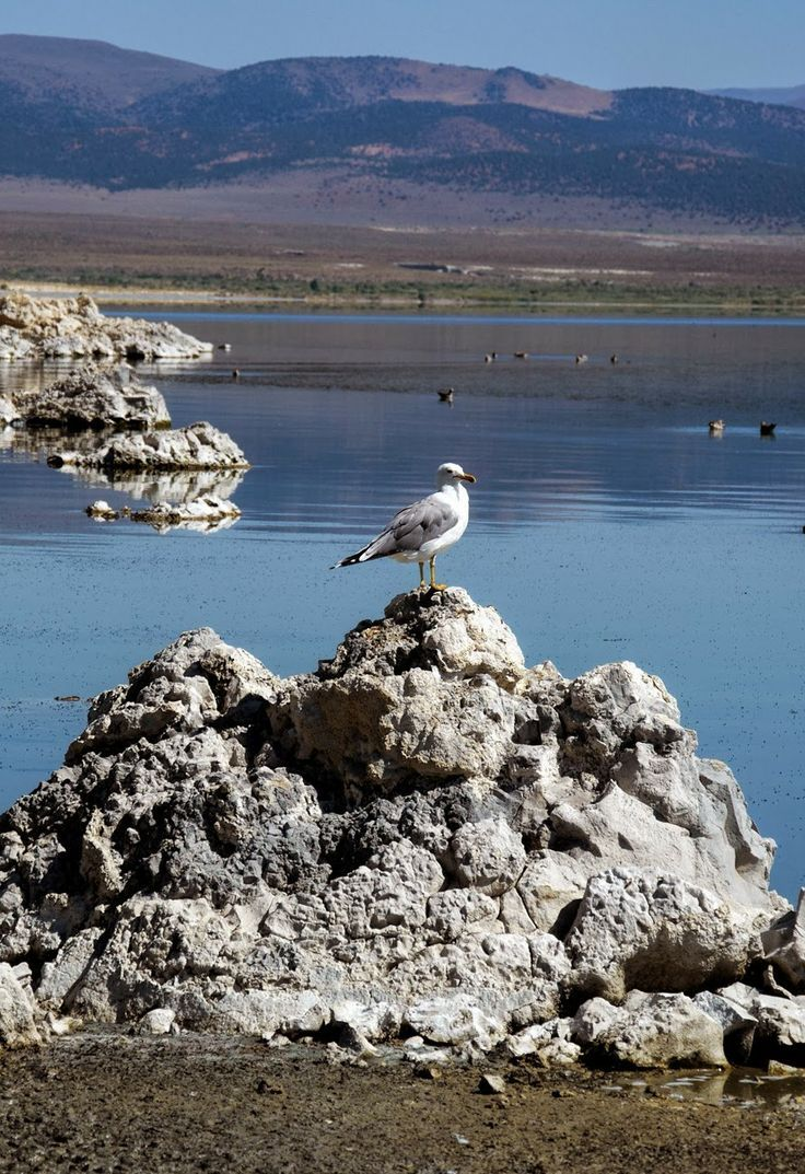Mono Lake. California.Located in California's spectacular Eastern Sierra, Mono Lake is an oasis in the dry Great Basin and a vital habitat for millions of migratory and nesting birds.