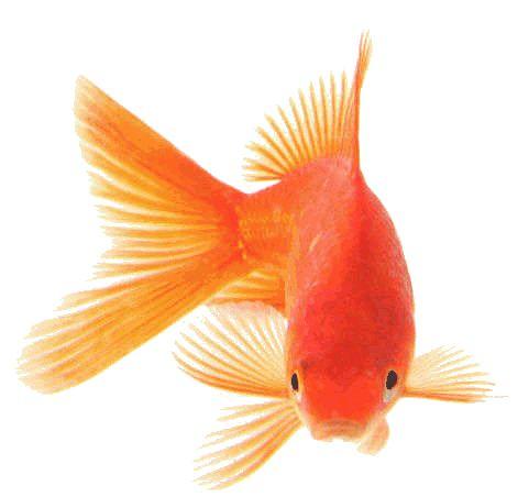 Dale de comer correctamente a tu pez rojo