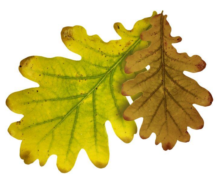 Картинка дуб листья