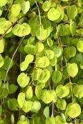 Cercidiphyllum japonicum 'Pendulum' Grujecznik japoński 'Pendulum'