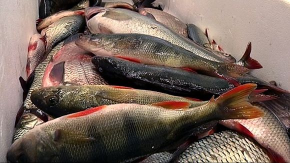 Suosi kotimaisia kaloja WWF
