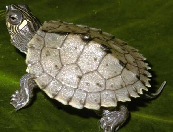 Mississippi Map Turtles For Sale at Voracious Reptiles
