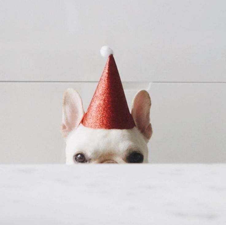 French Bulldog in Party Hat, @piggyandpolly on instagram