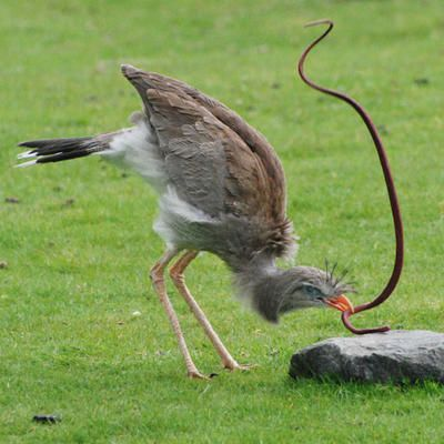 RED LEGGED SERIEMA --The Seriema birds are the sole extant members of the small and ancient clade Cariamidae. The Seriemas are large, long-legged terrestrial birds that range from 70 to 90 cm. They live in grasslands, savanna, dry woodland and open forests of Brazil, Bolivia, Argentina, Paraguay and Uruguay. There are two species of seriemas, the Red-legged Seriema (Cariama cristata) and the Black-legged Seriema (Chunga burmeisteri).