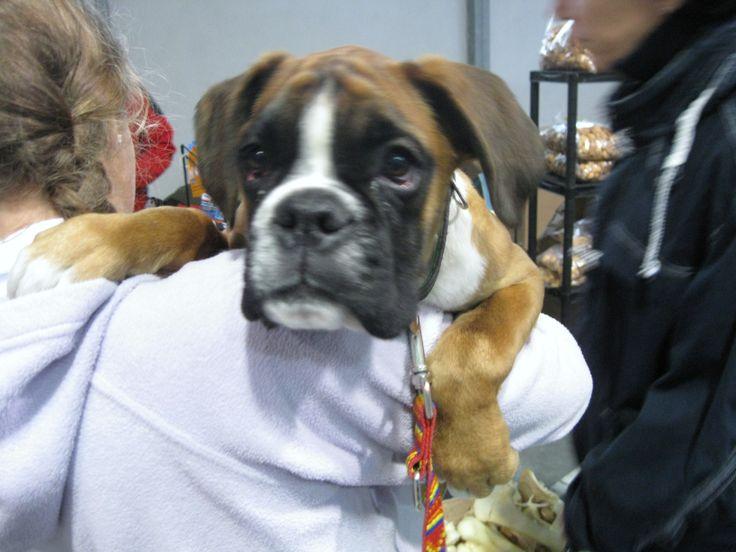 puppy německý boxer