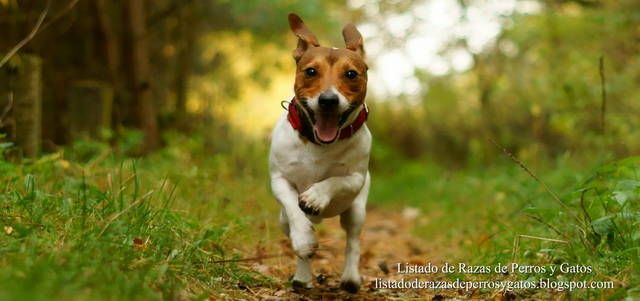 Foto de un Jack Russell Terrier corriendo por el bosque. El Jack Russell Terrier es una de las mejores razas de perros pequeños que existe en el mundo. Raza de perros (Photo of a Jack Russell Terrier running through the woods. The Jack Russell Terrier is one of the best small dog breeds that exist in the world. Breed of dogs).