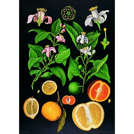 Citrus Botanical Chart