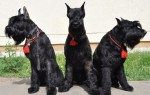 Ризеншнауцер http://xn--80aai6cb.xn--p1ai/%d1%80%d0%b8%d0%b7%d0%b5%d0%bd%d1%88%d0%bd%d0%b0%d1%83%d1%86%d0%b5%d1%80/  Шнауцер – это универсальная порода собак, появившаяся в Германии в 17 веке. Существует три вида шнауцеров: Ризеншнауцер (гигантский шнауцер). Миттельшнауцер (средний или стандартный шнауцер). Цвергшнауцер (карликовый или миниатюрный шнауцер). В этой статье речь пойдёт о самом крупном виде шнауцеров – ризеншнауцере. Это практически идеальная собака, сочетающая в себе массу…