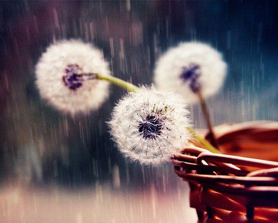 Fine Art Photography, Still Life Photography, Original Decor , Dandelions under the rain, noise, summer flowers, Nature, Color photography, $30.00