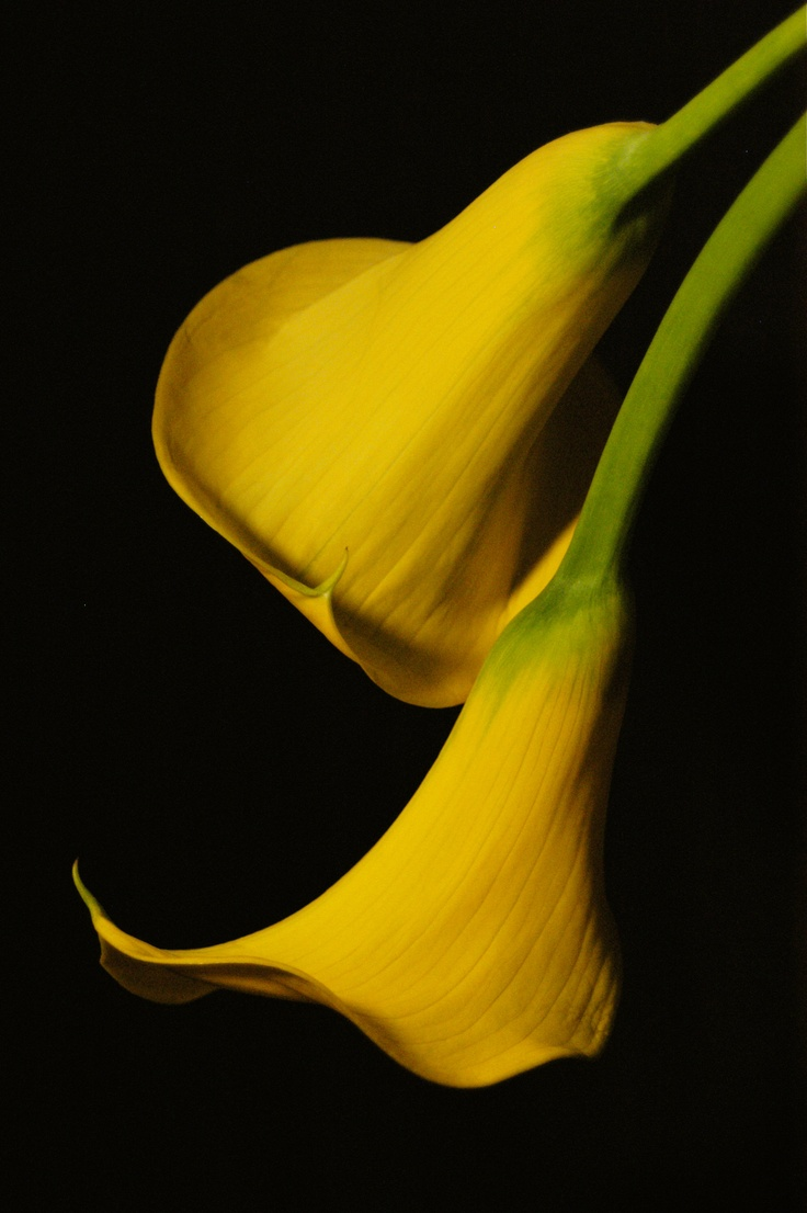 40 best calla lily images on pinterest calla lily calla lillies calla lillies dhlflorist Images