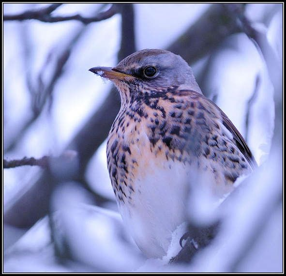 Gråtrost Sommerfugler i vinterland (Fotoboksen) | Fotoboksen
