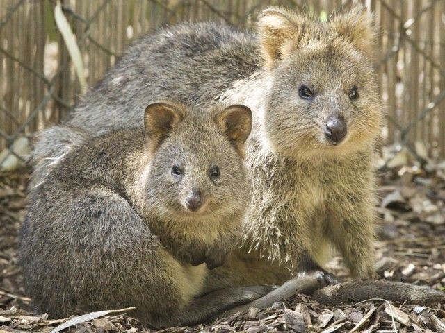 Quokka Joey and its mother.  September 2011 at Perth Zoo