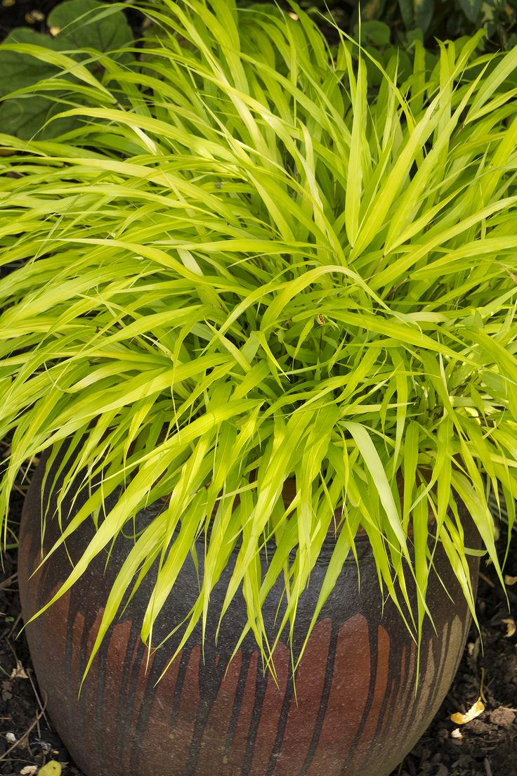 """All Gold Japanese Forest Grass - 18"""", Clumping"""