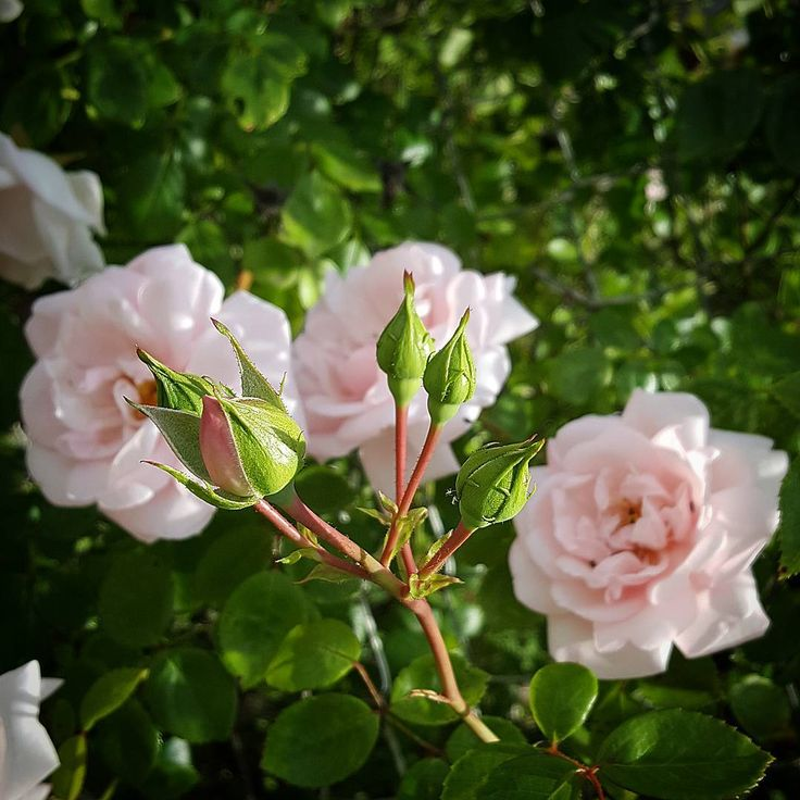 June is the month of roses. I wanted to share with you these ancient roses delicately perfumed. Have a nice day  #nature#flowers#ancient#rose##delicatness#garden#june#summer#perfume#jardin#roses#ancienne#florescence#insta_flowers#bns_france#igersfrance#ig_sanat#ig_today#instalikes#ig_flowers#love_flowers#ir_ig#turkobjectif#likeforlike#like4like