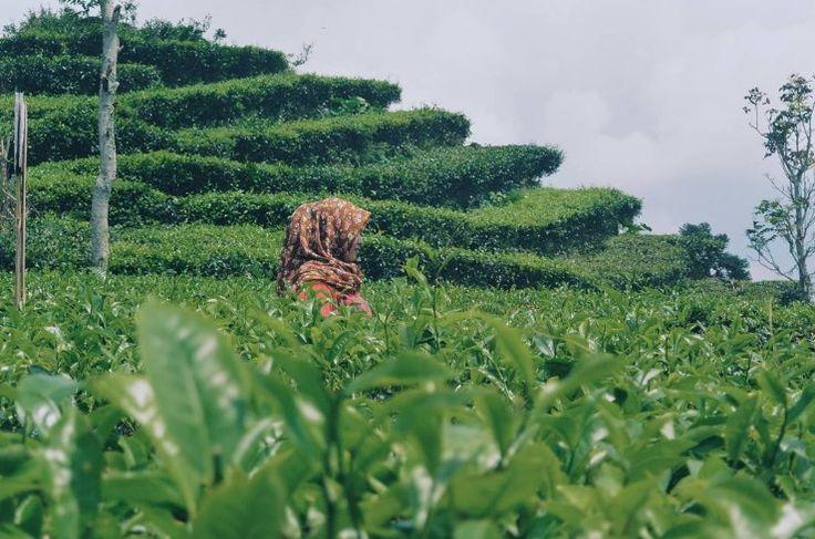 Foto kebun teh di desa wisata nglinggo