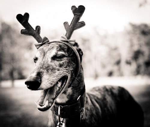 16 best greyhound images on pinterest for Every dog needs a home
