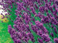 Lavandula angustifolia, or English lavender, has been a mainstay of herb gardens for many years. English lavender varieties are often used for culinary purposes, and their flowers and foliage are highly aromatic.