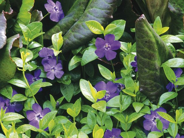 Periwinkle puts down roots from spreading shoots to form a dense mat, and its small leaves contrast well with those of pigsqueak. Try to resist planting these prolific reproducers in smaller gardens; they'll make quick work of the space you were planning to use to showcase other beauties.