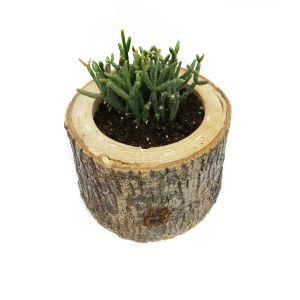 Crassula Salicornioides Succulent-Sukulent