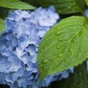 How to Grow Hydrangeas in Southern California | eHow