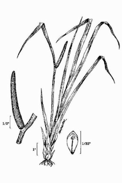 Acorus calamus: USDA-NRCS PLANTS Database / USDA NRCS