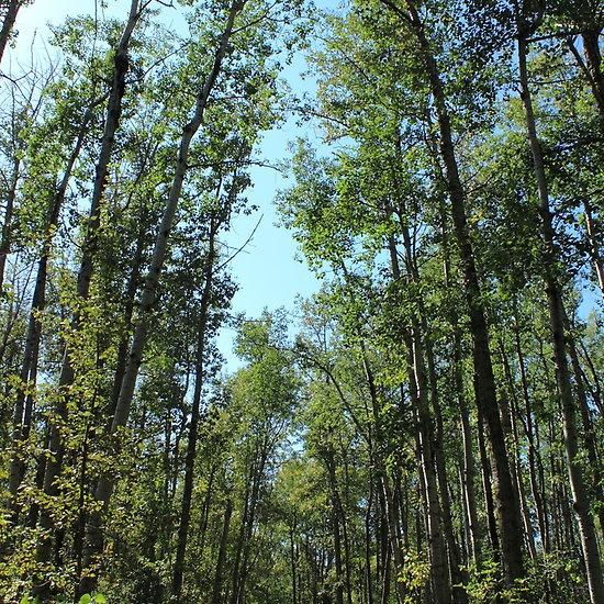 Hiking trail in tall aspen poplar trees