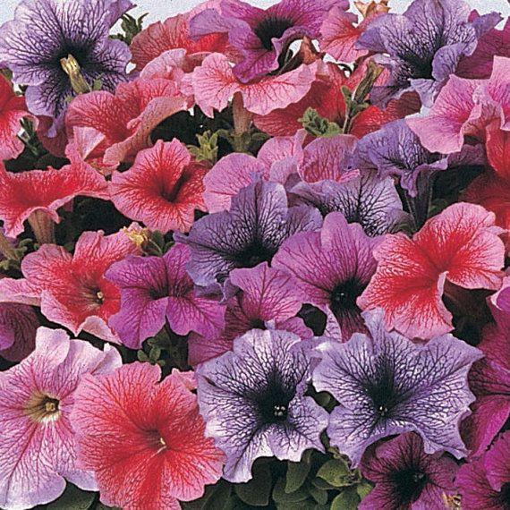 daddy mix petunia seeds dark veined blooms high quality u0026 germination fresh