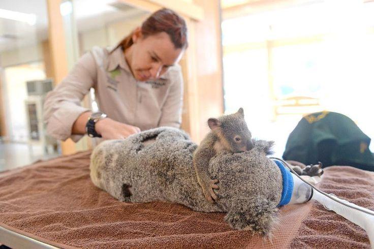 Questo cucciolo di koala è rimasto avvinghiato al collo della madre durante un intervento http://www.focus.it/ambiente/animali/labbraccio-salva-vita-del-baby-koala…