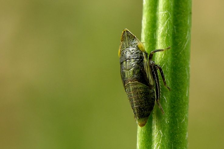A froghopper, family Cercopdiae