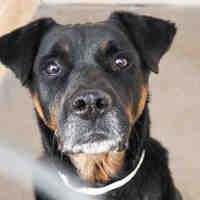 URGENT! Pictures of HERSHEL a senior male Rottweiler for adoption in Phoenix, AZ who needs a loving home. ID#A4021348