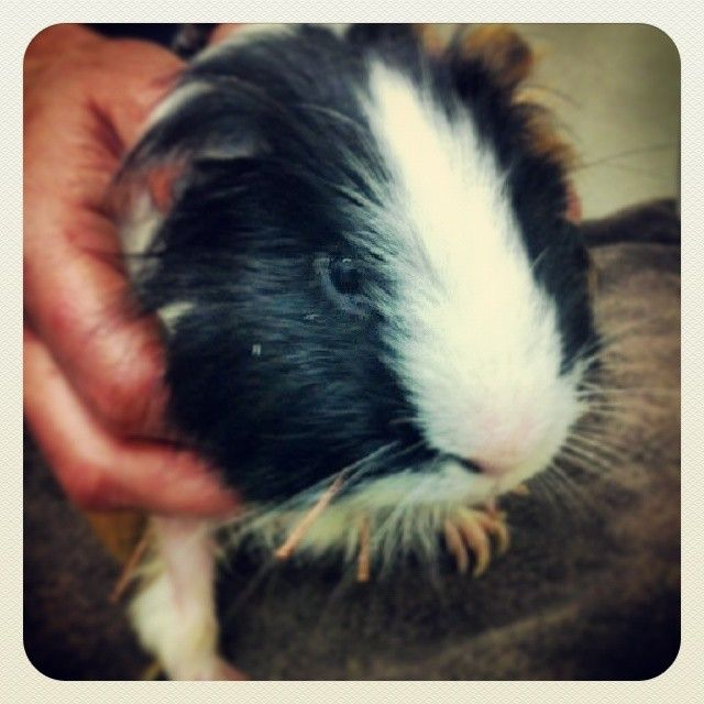 A guinea pig, getting acupuncture?