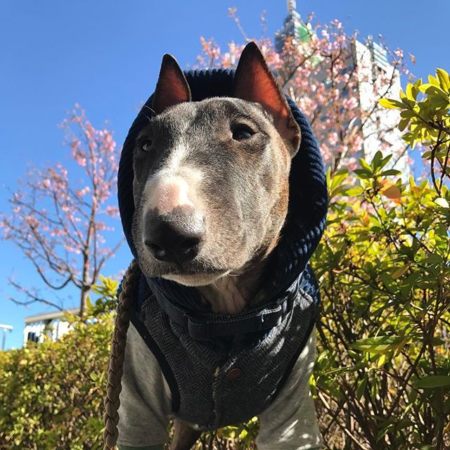 【uripon3】さんのInstagramをピンしています。 《今日は、🌸 昼んぽだからご機嫌だよー🎵  #ミニチュアブルテリア #ブルテリア #miniturebullterrier #犬#桜#dog #bull#bullterrier #minibullterrier #teketeke》
