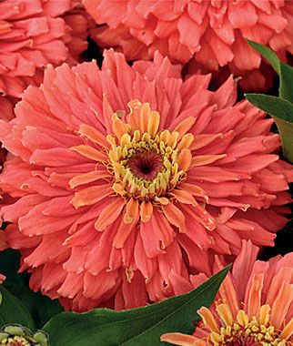 Zinnia, Señora™ -- salmon colored double-blooms, buy seeds from Burpee spring 2013