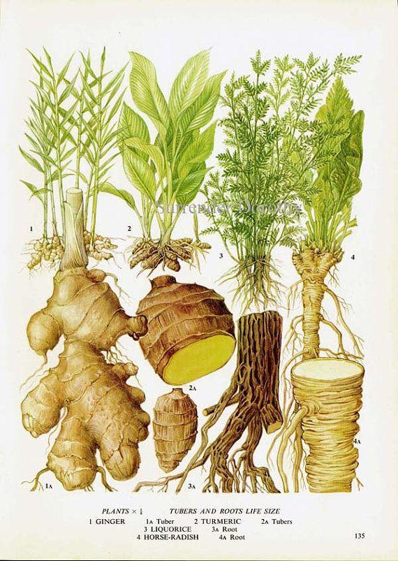Ginger Turmeric Licorice Horseradish Chart Root Vegetable ...