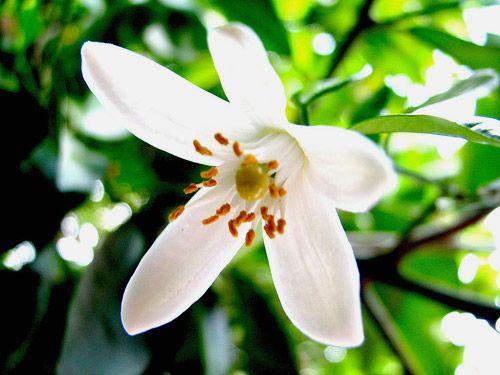 Flor de azahar .   Infusión de té tranquilizante, sirve para ayudar a dormir.