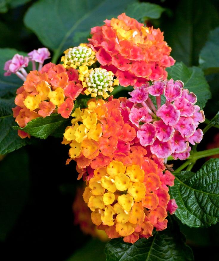 лантана цветок фото и описание того можете