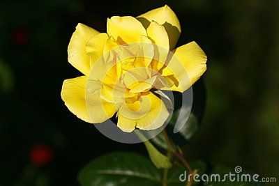 Yellow rose in the yard