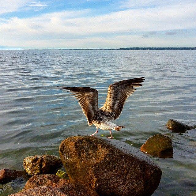 Яорёл / The eagle has lended #sea #seagull #nature #tallinngram #tallinn #bird #sky #seacoast #clouds #eaglehaslanded #gull #horizon #яорёл #чайка #море #побережье #природа #горизонт #небо #облака #птица #таллин #крылья #камень #wings #stone #hdr #хдр #hdr_nature