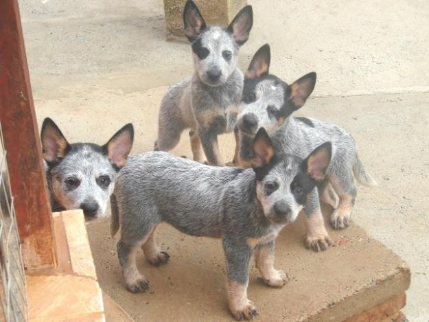australian cattle dog blue heeler - Google Search