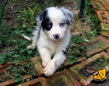 Adopt a Blue eyed border collie, or dalmatian husky mix