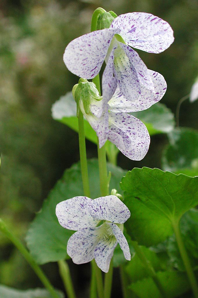 """Butterfly Violet (Viola sororia) A beautiful hybrid I've seen is """"Freckles"""" with spotted flowers. This plant is similar to Viola odorata, but has no scent. Blooms in April-May. outdoors garden flowers"""