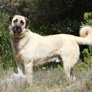 20 ide hirtenhund terbaik di pinterest pyren enberghund. Black Bedroom Furniture Sets. Home Design Ideas