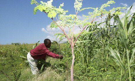 Haiti hopes miracle moringa tree can help to combat malnutrition | Felix von Geyer