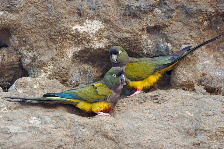 Burrowing Parakeet, Tricahue, Patagonian Conure, or Loro Barranquero (Cyanoliseus patagonus), South America
